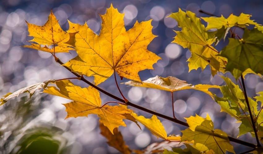 почему осенью листья меняют цвет, осенью листья меняют цвет, листья меняют цвет, цвет листьев, цвет листьев осенью, осенние листья