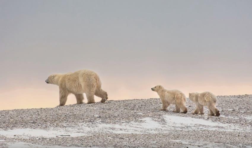 почему белые медведи белые, почему полярные медведи белые, почему у белых медведей шкура белая