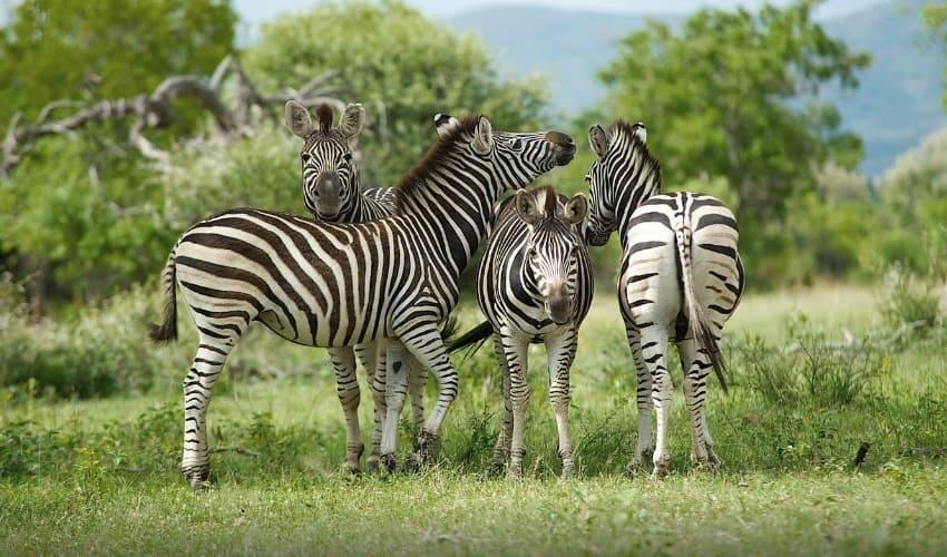 почему зебры полосатые, полосаты зебры, зачем зебрам полосы