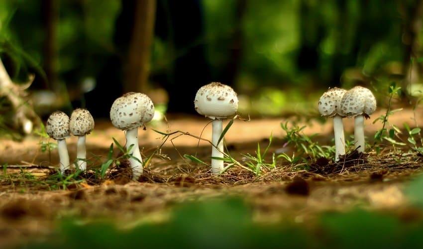 почему некоторые грибы называют поганками, поганки, грибы поганки, поганками называют
