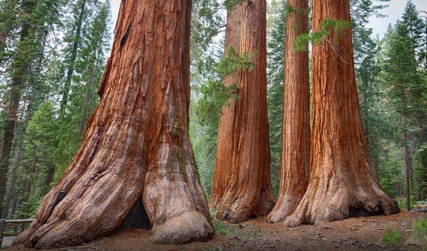 какое дерево самое толстое и высокое, какое дерево самое толстое, какое дерево самое высокое, самое толстое дерево. самое высокое дерево, секвойя, гигантская секвойя