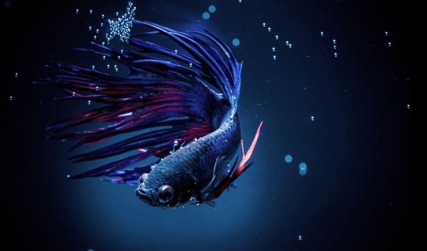 какая рыба устраивает ясли из пузырьков, сиамские бойцовые рыбки