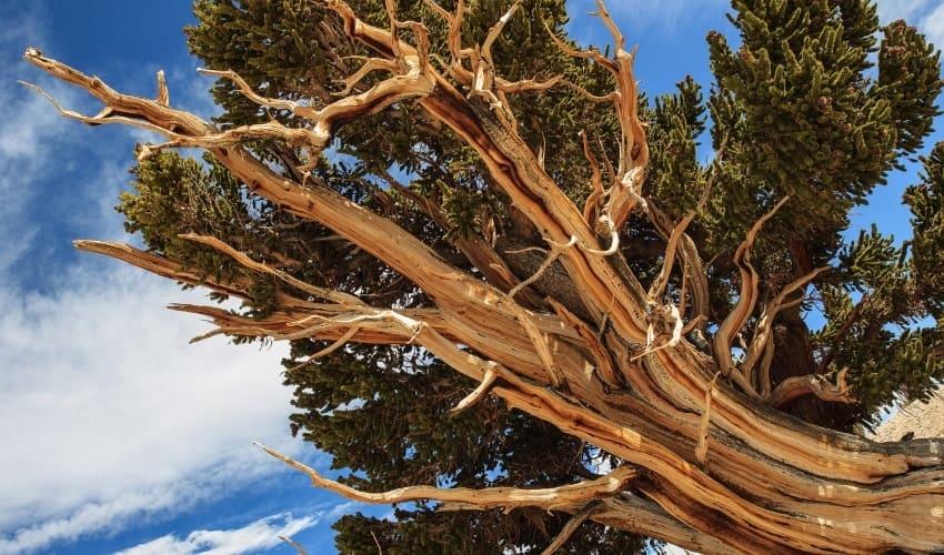 какие деревья самые старые, самые старые деревья, старые деревья, сосна остистая, гингко билоба