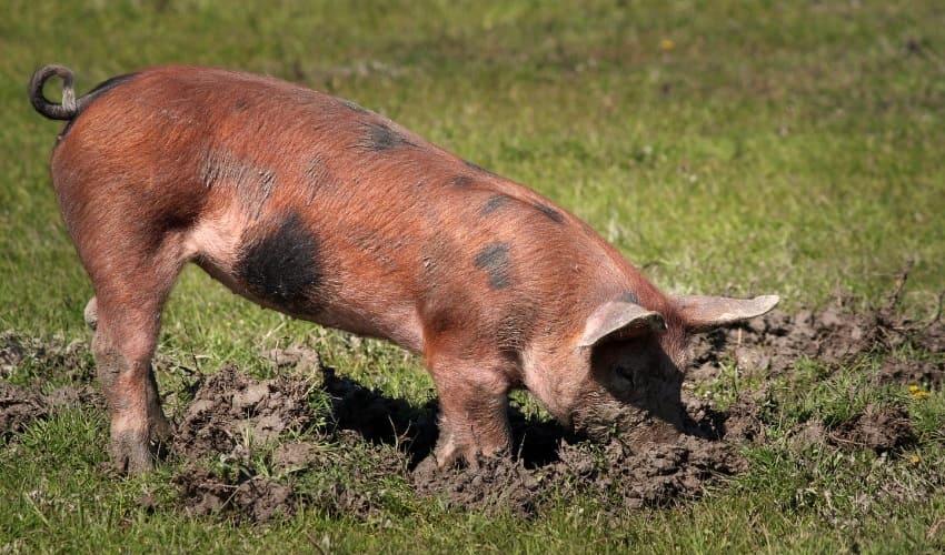 почему свиньи такие грязные, почему свиньи грязные, любят ли свиньи грязь, грязные свиньи