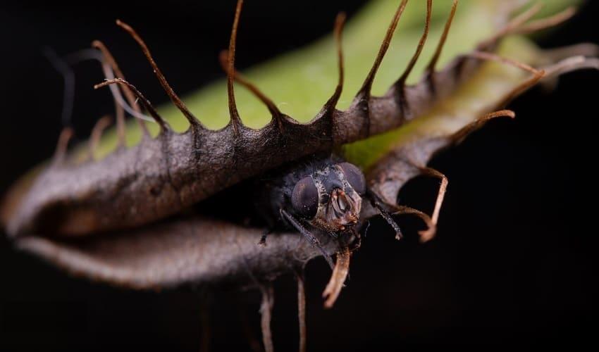 как венерина мухоловка ловит мух, венерина мухоловка, венерина мухоловка это, как венерина мухоловка ловит живых мух, венерина мухоловка ловит мух