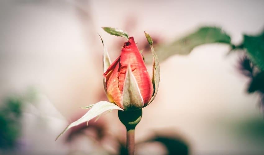 все ли цветы закрываются на ночь, какие цветы закрываются на ночь, зачем закрываются цветы, цветки закрываются ночью, цветы закрываются