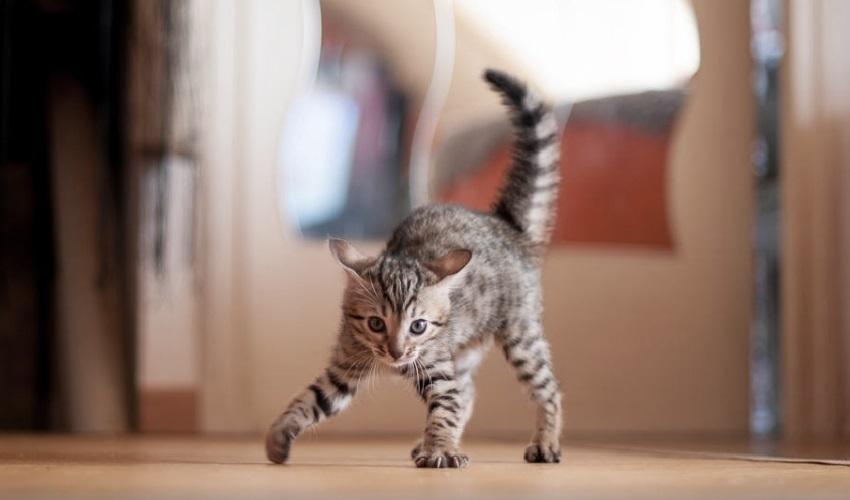 почему моя кошка выгибает спину, почему кошка выгибает спину, кошка выгибает спину, выгибание спины кошкой