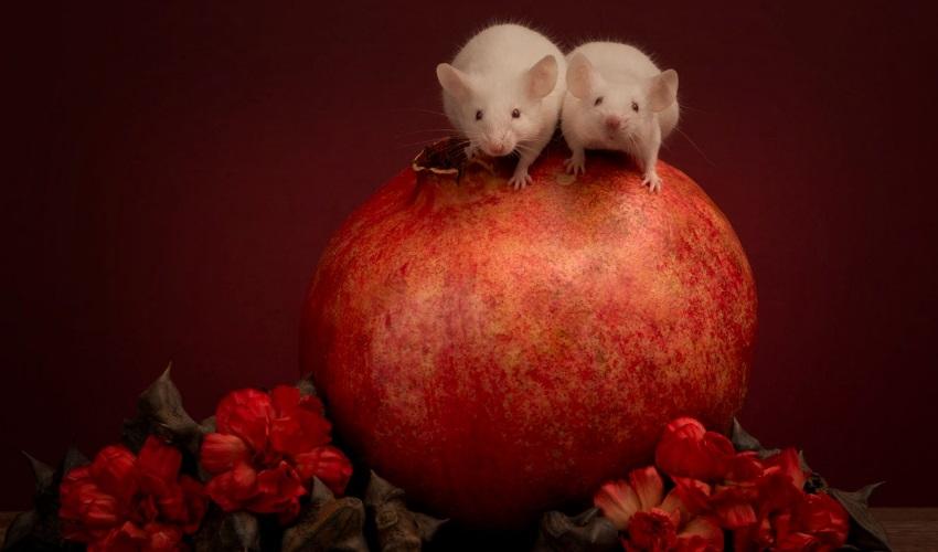 почему мыши плачут красными слезами, как плачут мыши, слезы мышей, пигмент порфирин