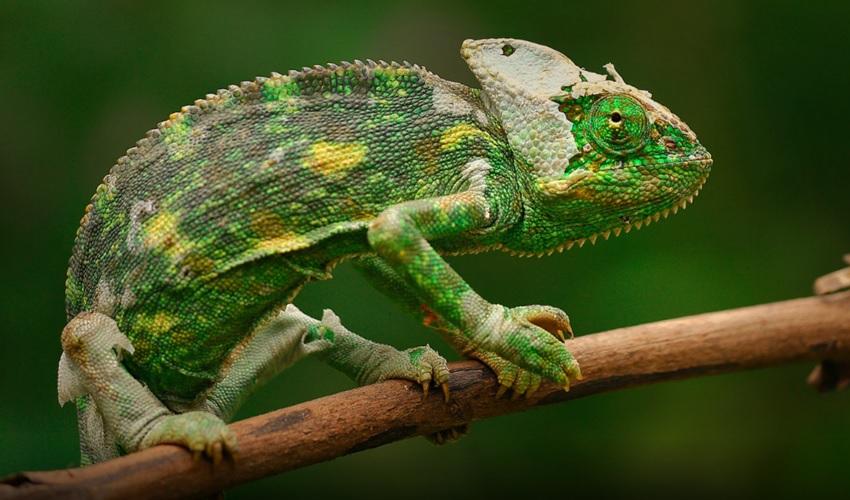 хамелеон, почему хамелеон меняет цвет, почему хамелеон меняет свой цвет, как хамелеон меняет цвет, как хамелеону удается менять цвет, окраска хамелеона, зачем хамелеоны меняют цвет, иридофоры, ксантофоры, как меняется цвет у хамелеона