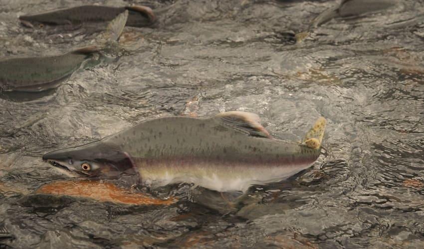 правда ли что лосось всегда возвращается туда где он родился, возвращается ли лосось туда где родился, куда возвращается лосось, лосось