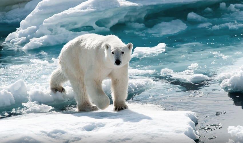почему белые медведи не замерзают в ледяной полярной воде, почему белые медведи не замерзают