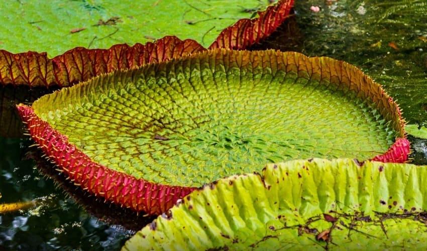 на каком водяном растении можно плавать, гигантская водяная лилия виктория регия, гигантская водяная лилия