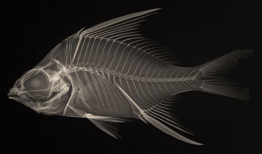 кто изобрел позвоночник, у кого впервые появился позвоночник, позвоночник рыб