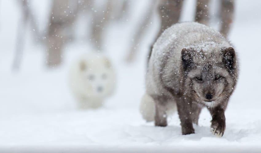животные тундры, животные азиатской тундры