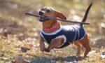 Одежда для собак: «понты» хозяина или необходимость для питомца?