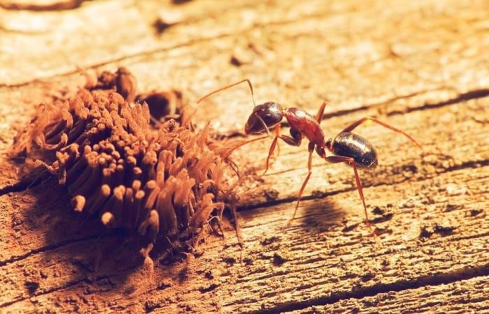 Где взять муравьев для фермы